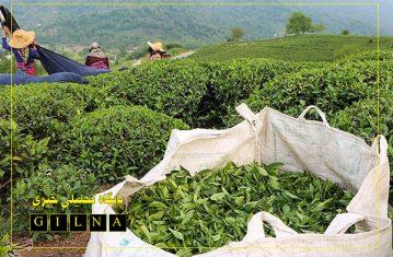 جوانه های امید در باغات چای سبز شد